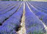 lavender01